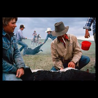 cowboy castrates a young calf   Wall Art > National Geographic Art