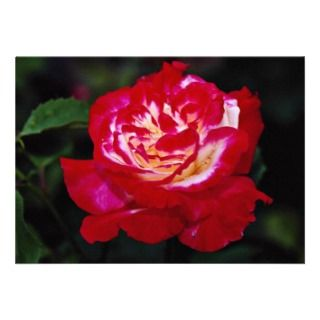 Double Delight Hybrid Tea Rose Andeli White flow Announcement