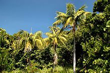 Kentia Palm Tree Seedlings 50 Off Great Indoor Plant Seeds To