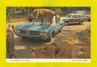 Postcard Lion Safari Classic Cars Car 60s Automobile