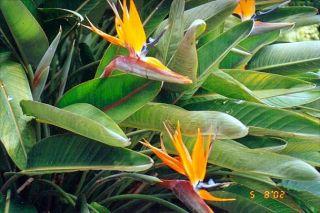 Orange Bird of Paradise Live Plants Strelitzia
