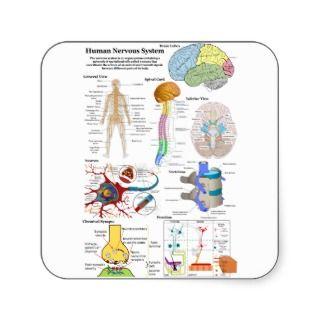 Human Brain and Central Nervous System Diagram Stickers