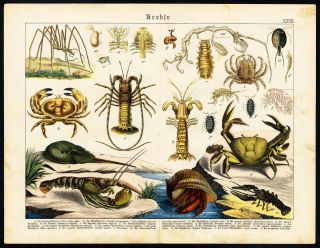 Antique Print Lobster Mantis Shrimp Langouste Purple Land Crab
