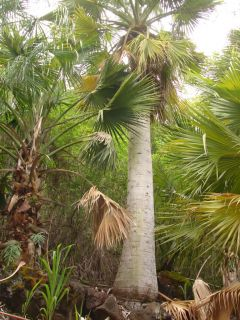 Puerto Rican Hat Palm Tree Sabal Causiarum Massive Fat Concrete Trunk