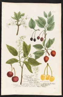Weinmann 1737 Phytanthoza Iconographia Folio Botanical Cherry Tree 351
