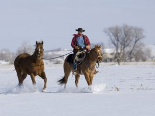 Cowboy Riding Red Dun Quarter Horse Gelding Through Snow, Bethoud, Colorado, USA Premium Poster by Carol Walker