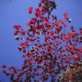 Autumn Maple Leaves Against a Blue Sky, Kinkaku Ji Golden Temple Garden, Kyoto, Kansai, Japan Photographic Print by Christopher Rennie