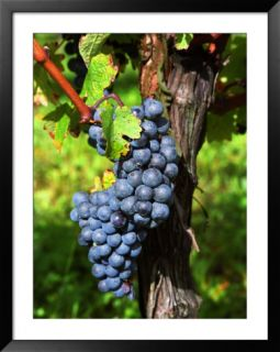 Merlot Grapes on Branch of a Vine, Bergerac, Bordeaux, Gironde, France Pre made Frame