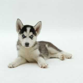 Blue Eyed Siberian Husky Dog Puppy, 6 Weeks Old, Lying Down Premium Poster by Jane Burton