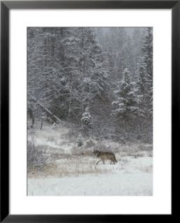 Gray Wolf, Canis Lupus, Walks in a Wintry Snow Filled Landscape Pre made Frame