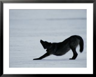 Black colored gray wolf stretching Pre made Frame