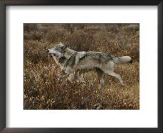 Alpha Gray Wolf Carries Off an Elk Leg After Feeding Pre made Frame