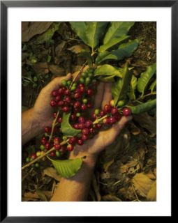Hands Holding Coffee Beans, Costa Rica Pre made Frame
