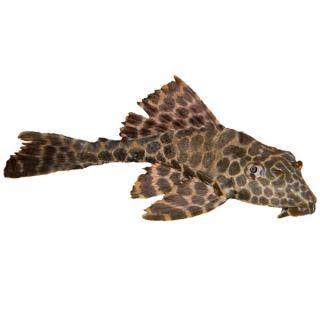 Hifin Spotted Pleco   Tropical   Fish