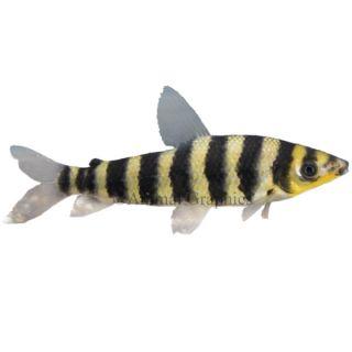 Semi aggressive freshwater fish tropical fish with flair for Semi aggressive fish