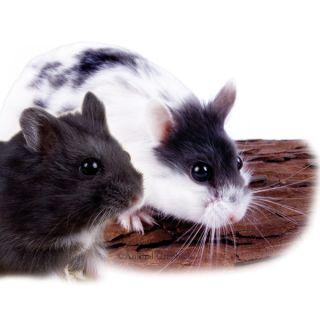 Fancy Russian Dwarf Hamster   Small Pet   Live Pet
