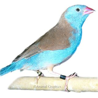 Cordon Blue Finch   Bird   Live Pet