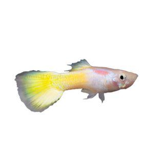 Yellow Guppy   Tropical   Fish