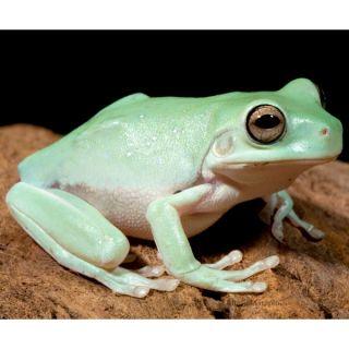 White's Dumpy Tree Frog   Reptile   Live Pet