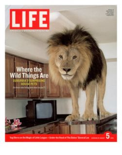 14 year old Sinbad the Lion Standing on Counter in Owners Las Vegas Kitchen, August 5, 2005 Photographic Print by Marc Joseph