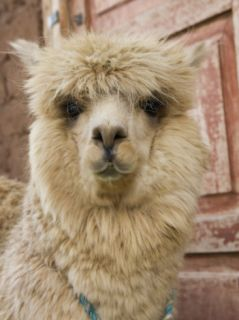Llama, Cuzco, Peru Photographic Print by John & Lisa Merrill