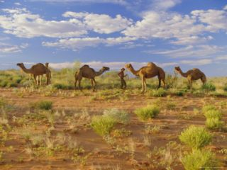 Camels, Central Desert, Northern Territory, Australia Photographic Print by Claire Leimbach