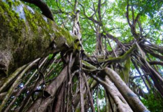 Strangler Fig Tree in Costa Rica Photo Poster Print Prints