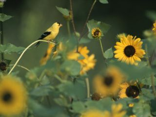A Male American Goldfinch Sits on a Sunflower Eating Seeds Photographic Print