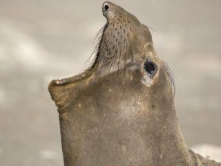 Northern Elephant Seal Mouth Open, West San Benitos Island, Baja California, Mexico Photo by Mark Carwardine