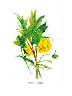 Paeonia Lutea Wall Decal by H.g. Moon