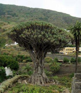 Dracaena draco   The Dragon Tree   10 Fresh Seeds