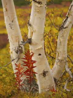 Stone Birch Tree Trunks Photographic Print by Michael Melford