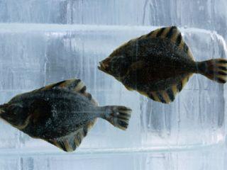 Pair of Fish Frozen in Ice for he Sapporo Yuki Masuri (Snow Fesival), Sapporo, Hokkaido, Japan, Phoographic Prin by Oliver Srewe