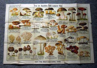 Grasers Verlag 1900 Prof. Dr. Raschkes Übersichtstafel essbare Pilze