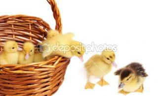 Ducklings isolated on white  Foto Stock © Maya Kruchenkova #1303769