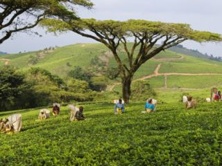 Malawi, Thyolo, Satemwa Tea Estate, Workers Plucking Tea Photographic